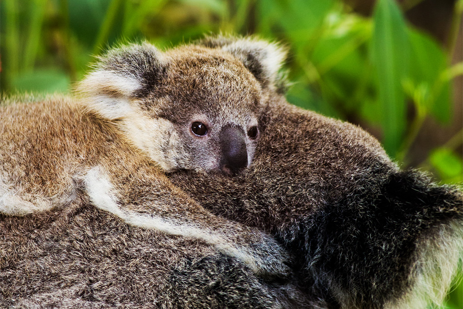 Visit Koalas: things to do in sydney with kids