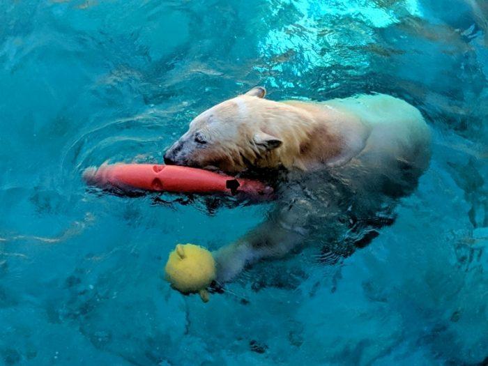 what zoos have polar bears australia